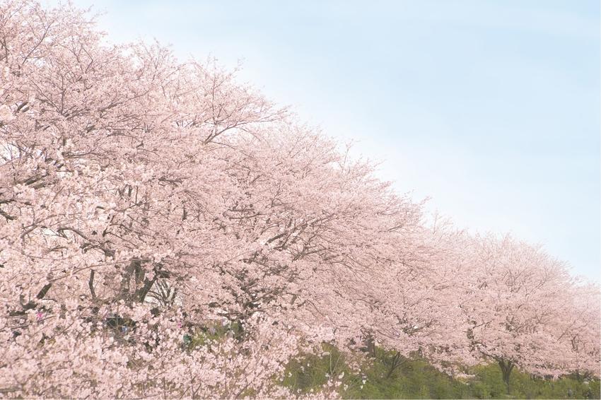 sakura_haikei.jpg